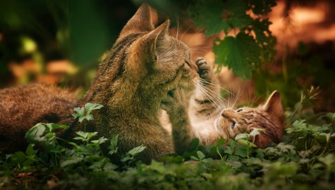 Кошки, пара, трава, игривый