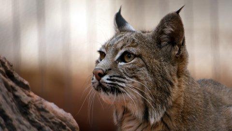 Рысь, морда, большой кот, глаза, хищник