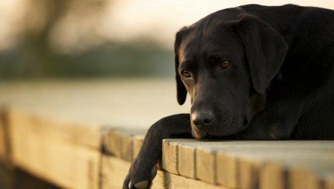 Собаки, лабрадор, вниз, грустный