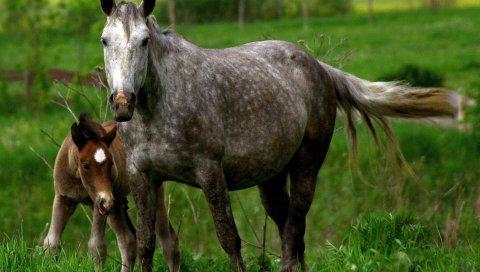 Лошадь, жеребец, детеныш, пара, уход, трава