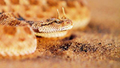 Змея, песок, лицо, хищник