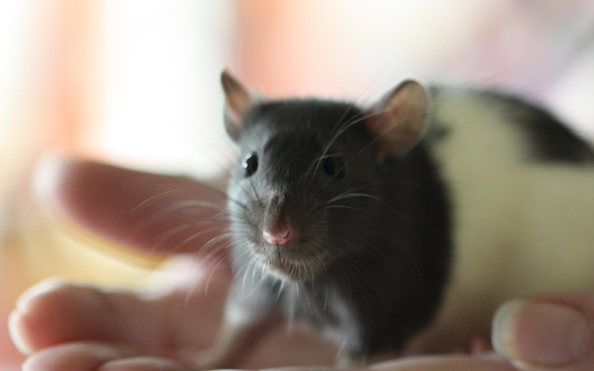 харламов крысы фото на рабочий стол фотографии города, людей