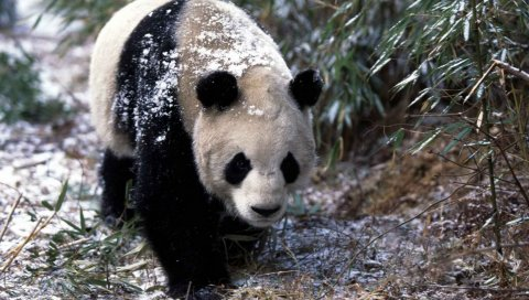 Панда, снег, трава, прогулка, деревья
