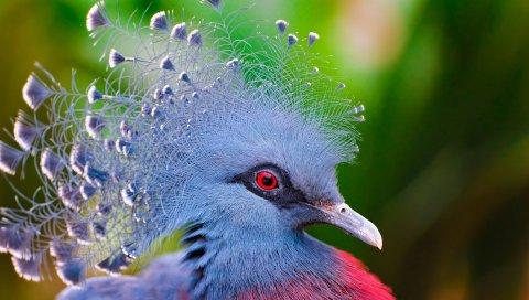 Коронованный голубь, птица, перья, красочные