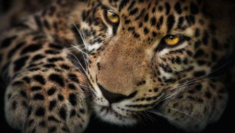 Леопард, лицо, тень, хищник