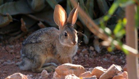 Кролик, трава, сидя, уши