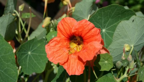 Настурция, цветок, клумба, солнечный