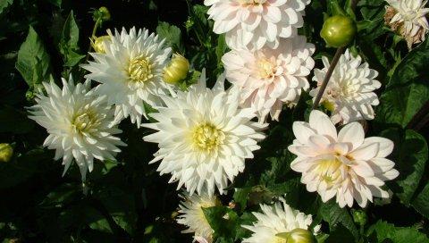 Георгины, цветы, клумба, зелень, бутоны
