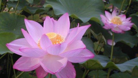 Лотос, розовый, листья, травы