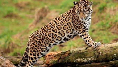 ягуар, журнал, хищник, большая кошка