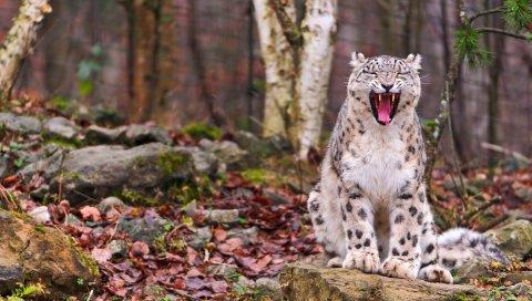 снежный барс, хищник, зубы, лицо, осень, листья, лес ,