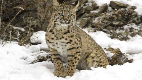 рысь, снег, дерево, хищник, большая кошка
