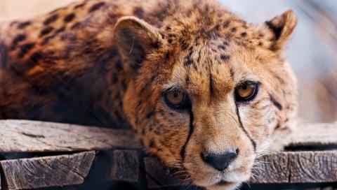 гепарды, лицо, глаз, хищник