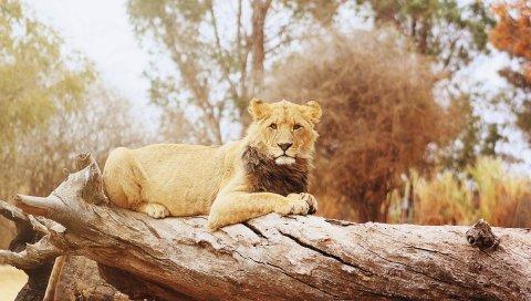 лев, лес, лежа, большая кошка, хищник