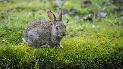заяц, кролик, трава, смотреть