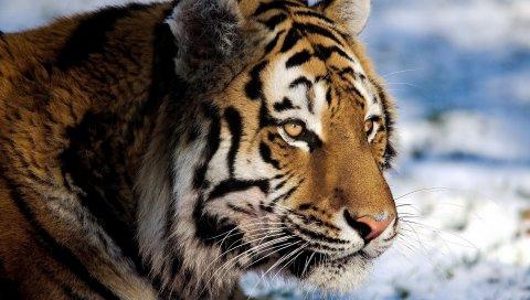 Тигр, хищник, снег, большой кот, часы
