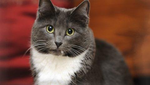 Кошка, лицо, жир, взгляд, хороший