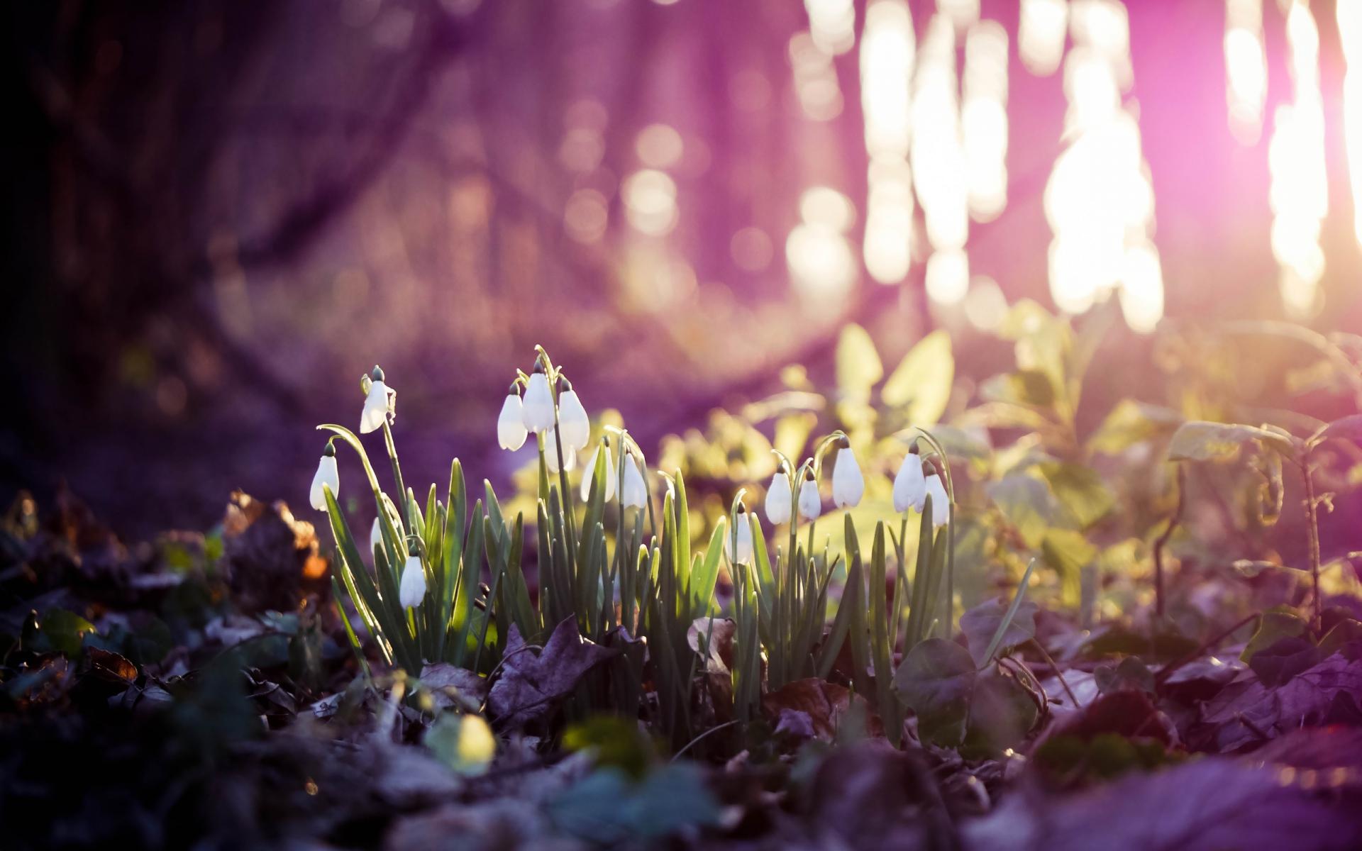 Картинки Весна, подснежники, цветы, лес, первая фото и обои на рабочий стол