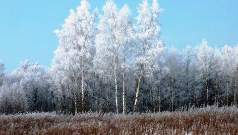 Берез, иней, снег, зима, седые волосы, свежесть, мороз, трава, выцветшие