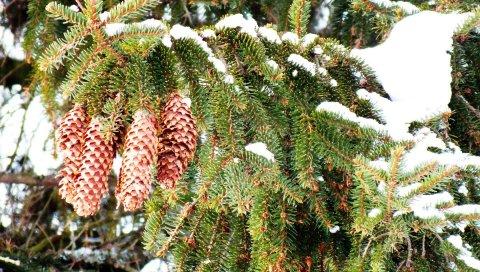 Конусы, ель, ветви, снег, зима, колючки