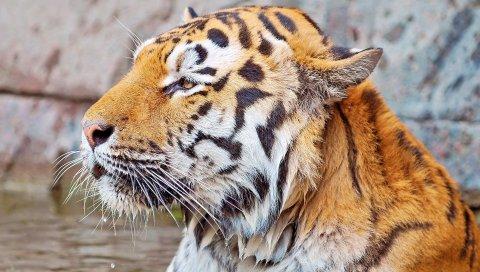 тигра, лицо, полосатый, хищник