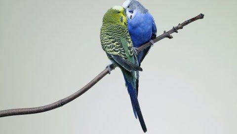 попугаи, пара, волнистых попугайчиков, филиал, птица