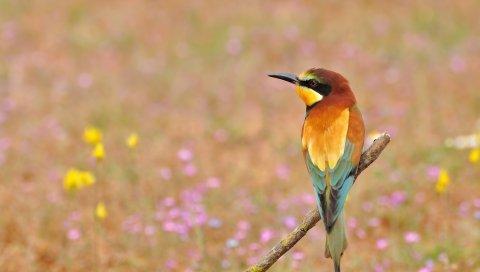 птицы, щурка, золотая щурка, цветы