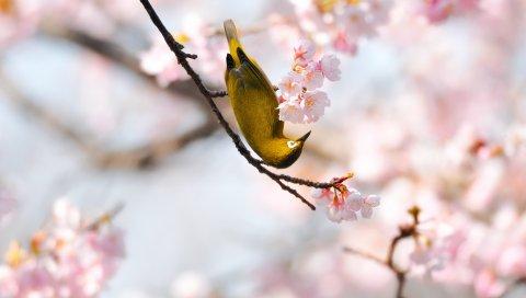 птицы, ветка, цветок, цветение