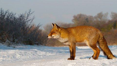 лисица , снег,охота, уход за
