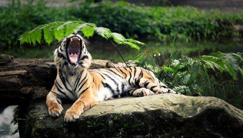 тигра, камень, ложь, листья, агрессия, зубы, открытый рот