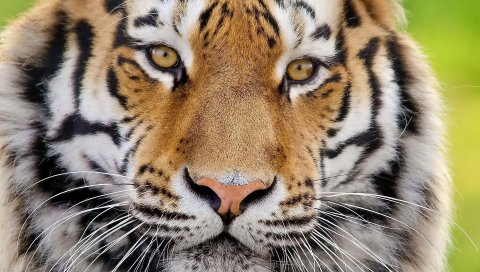 тигр, лицо, пушистый, хищник