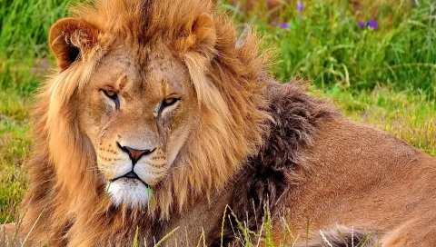 лев, взгляд, агрессия, грива, морда
