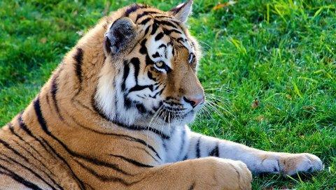 большая кошка, хищник, тигр, лежащий