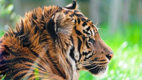 тигра, хищник, трава, шерсть, профиль