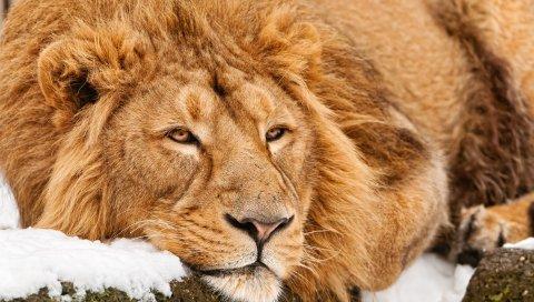 лев, лицо, ложь, хищник