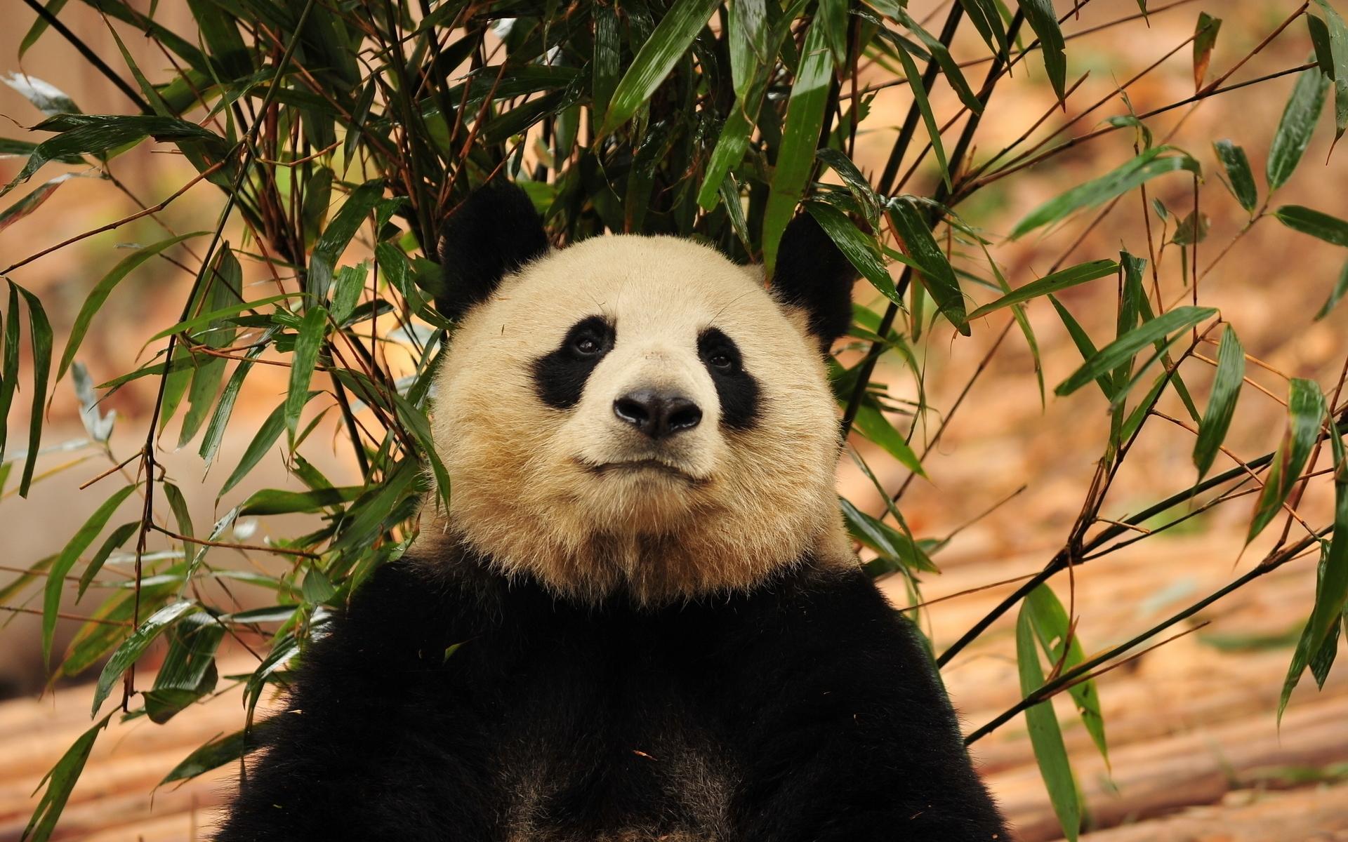 Открытка детский, панда картинки на рабочий стол