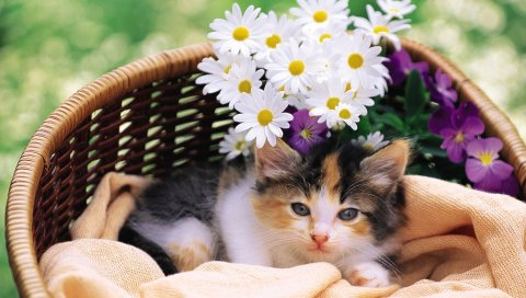 Котенок, пушистый, корзина, ложь, цветы