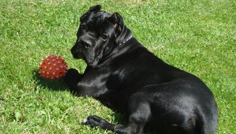 Тростниковый корс, собаки, трава, мяч, игра