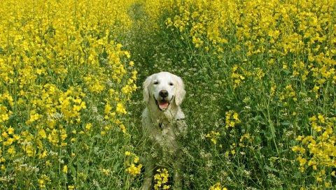 Собака, трава, поле, цветы