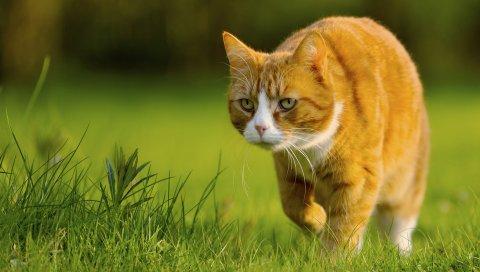 Кошка, трава, прогулки, охота
