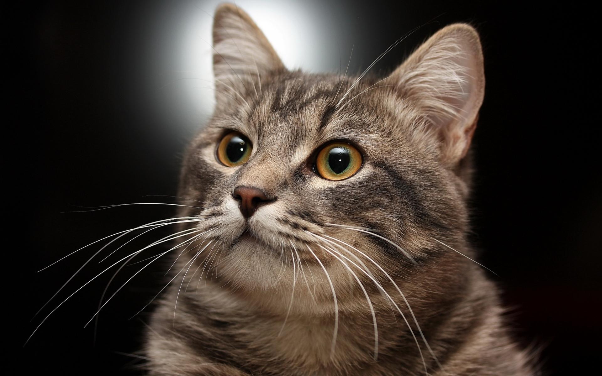 Картинки Кошка, морда, серый, полосатый фото и обои на рабочий стол