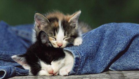 Котята, пара, пятнистый, джинсы