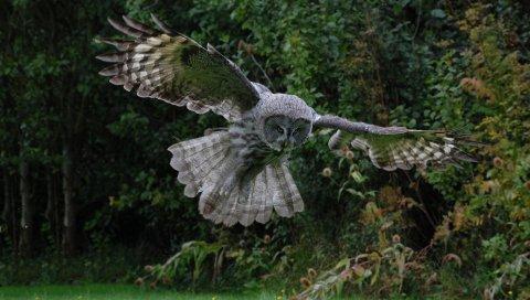 Сова, птица, полет, крылья, лоскут, хищник