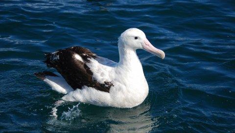 Альбатрос, птица, перья, сидеть