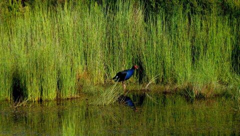 Пукеко, птицы, трава, пруд