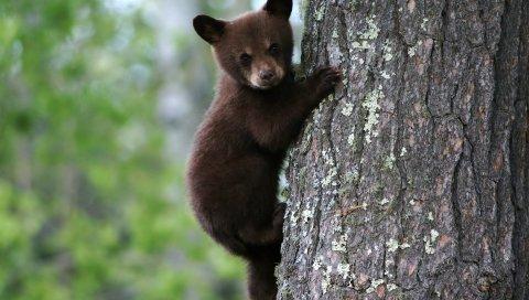 Медведь, куб, дерево, туловище, кора