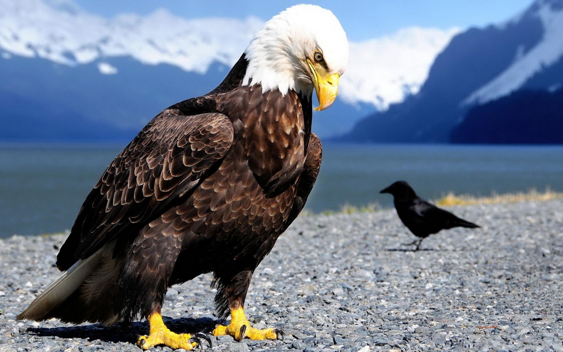 Обои eagle, beak, the, клюв, winter. Животные foto 7
