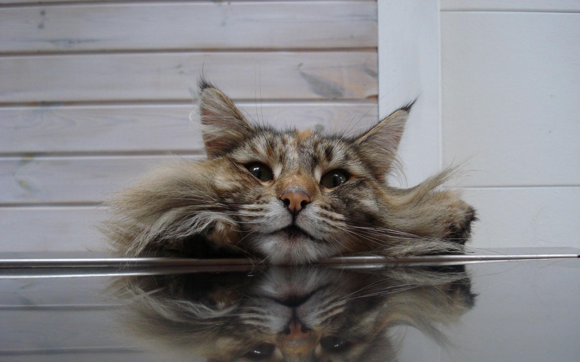 Картинки Кошка, лицо, пушистая фото и обои на рабочий стол