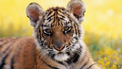 Тигр, трава, цветы, куб