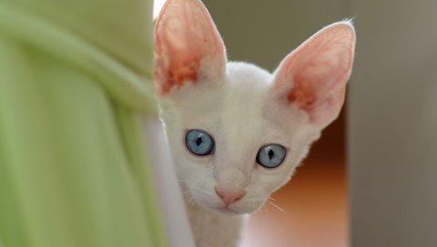 Кошка, лицо, голубые глаза, взгляд